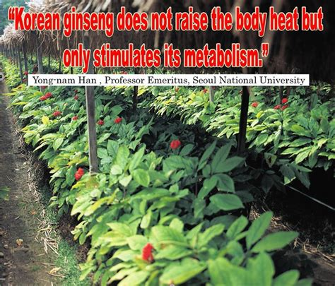 red ginseng thyroid picture 9