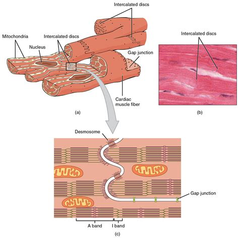 cardiac muscle as a syncytium picture 7