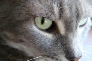 feline irritable bowel picture 1