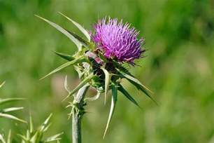 thistle flower picture 2