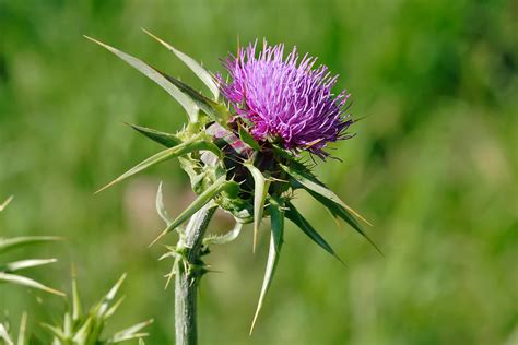 edible thistle picture 5