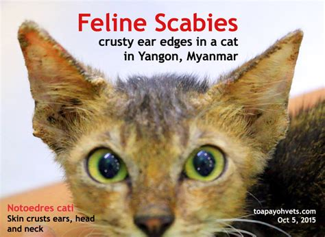 crusty skin condition in cats picture 1