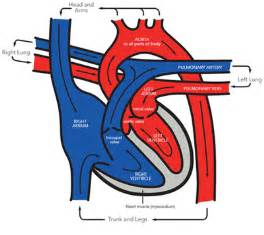 blood flow to h picture 7