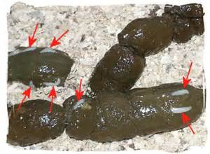 intestinal worms in cats picture 13