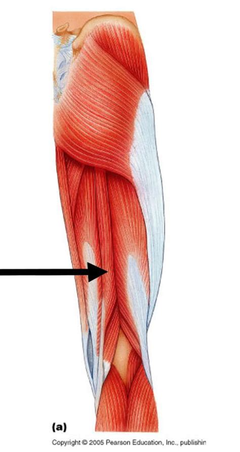 gluteus medius muscle picture 3