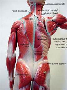 low back muscle charts psoasis muscle picture 17