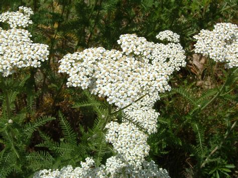 yarrow picture 1