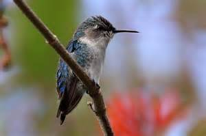 baby hummingbird diet picture 6
