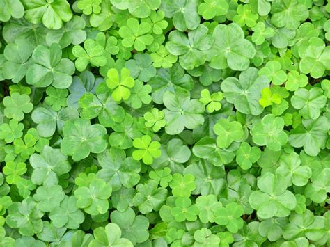 clover picture 5