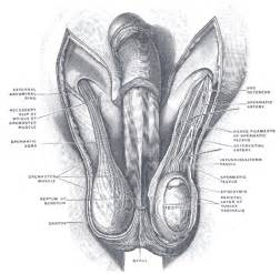 painful lump at base of penis picture 6