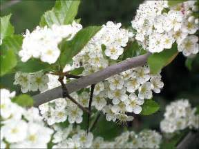 hawthorn tree identification picture 2