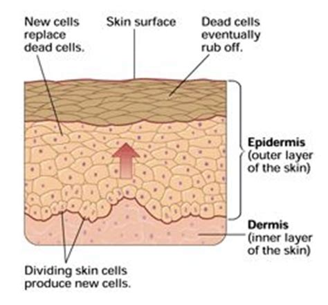 cell regeneration and skin picture 7