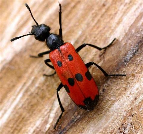 blister beetle wart removal picture 2