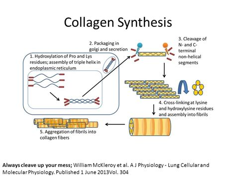 collagen synthesis picture 6