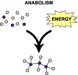 anabolism picture 2