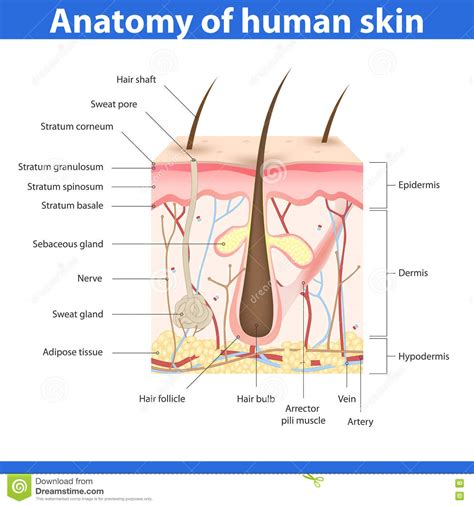 free images of human skin illustration picture 6