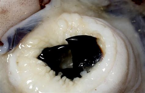 do squid have teeth picture 1