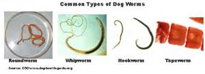 How to treat intestinal worms in dogs picture 3