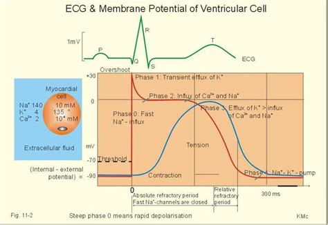 does ecg directly measure action potentials in muscle picture 11