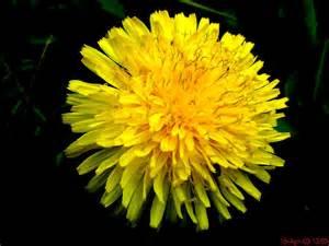 dandelion flower picture 5