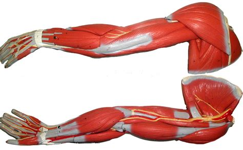 anatomy muscle model picture 10