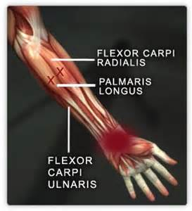 flexor carpi radilis stretches what muscle picture 6
