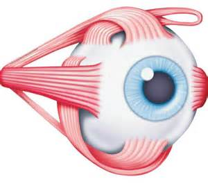 eye muscle picture 6