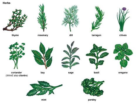 english herbal plant picture 5