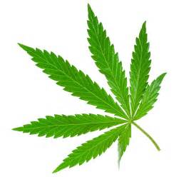 marijuana picture 5