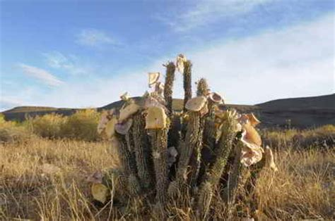 problems with hoodia gordonii picture 11