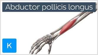 flexor pollicis longus muscle picture 18