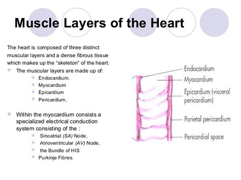 cardiac muscle as a syncytium picture 18