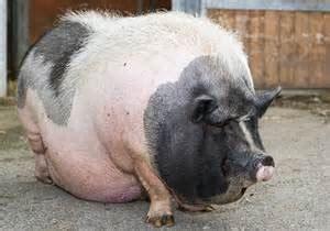 adding liquid fat to show pig diet picture 5