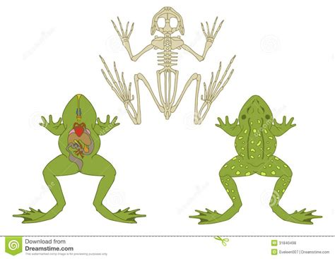 frog digestion picture 13