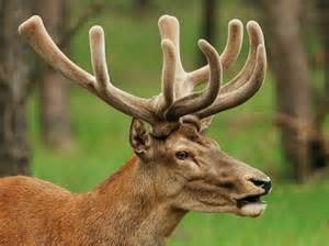 does deer antler velvet raise estrogen in men picture 3