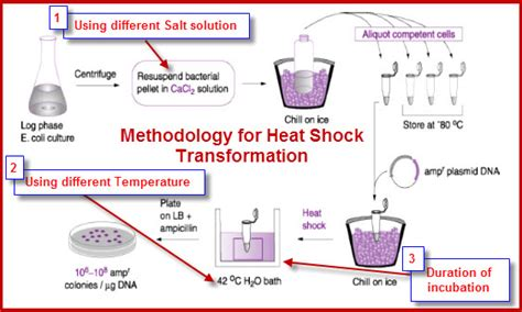 bacterial transformation method picture 2
