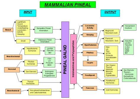 adrenal gland picture 11