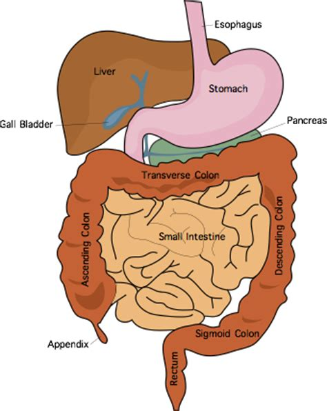 intestinal tract picture 1