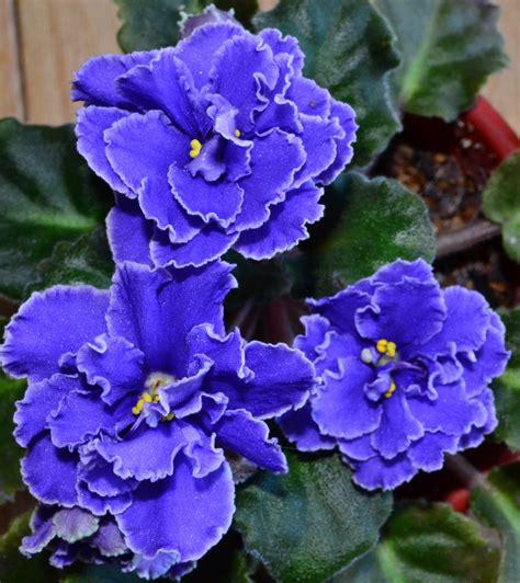 gerro blue star violet picture 10