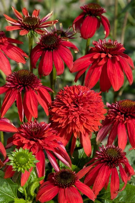 echinacea after midnight picture 15