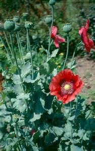 natural herb with opium effects picture 18