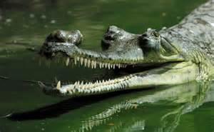 number of h alligators have picture 2