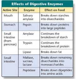 how does enzymes help digestion picture 1
