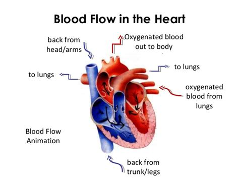 Blood flow animation picture 7
