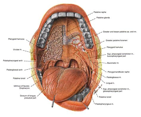 liver in a human body picture 7