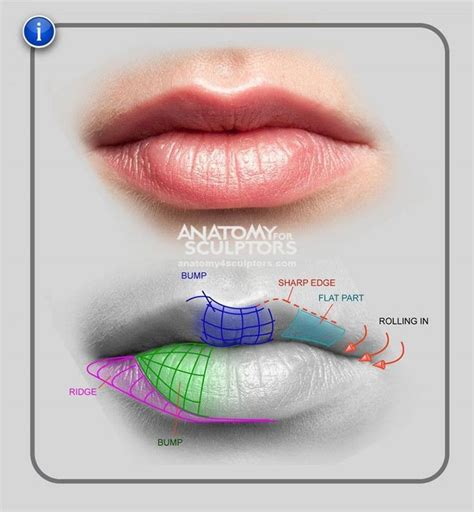 facial anatomy lips picture 3