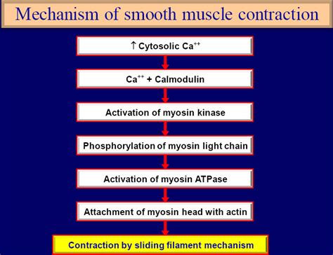 contraction and stimulation of the uterine smooth muscle picture 14