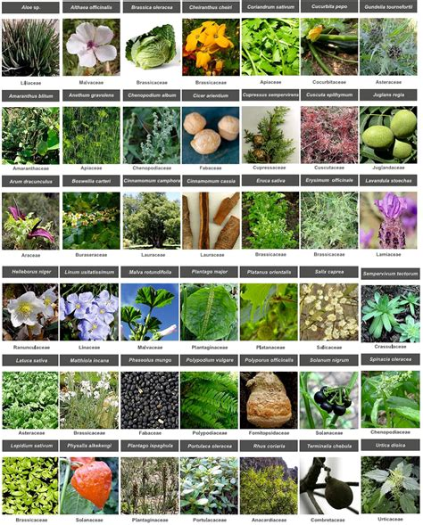 herbal plants and their scientific name picture 6