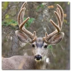 stoors to buy deer antler velvet picture 6