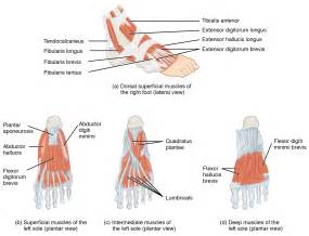 intrinsic muscle disease of the foot and ankle picture 2